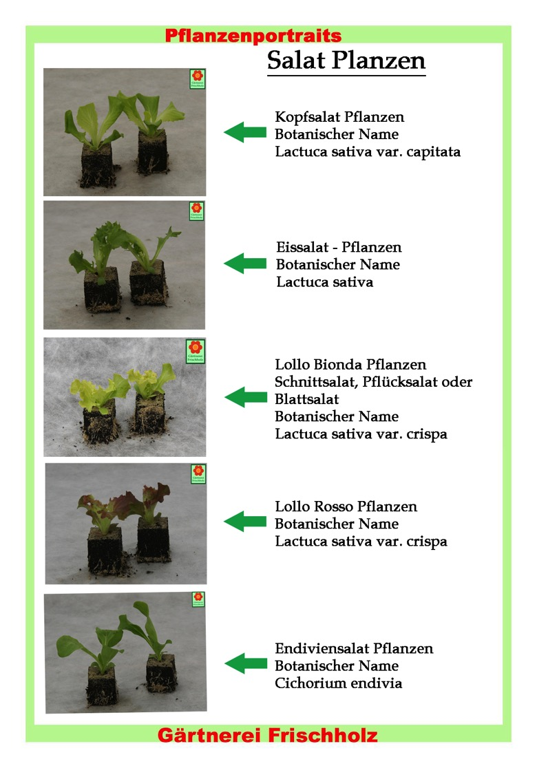 wann kopfsalat pflanzen